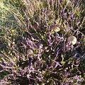 #wrzos #grzyby #kwiaty