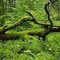 #Białowieża #puszcza #PuszczaBiałowieska #rezerwat #smok