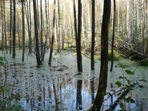 Autor: Śpioch:) #drzewa #las #natura #stawiski #zalew