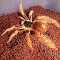 Megaphobema robustum L8 i Nhandu coloratovillosus L9 #ptaszniki #pająki #nhandu #megaphobema #pajęczaki