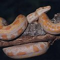 albinotyczny wąż #wąż
