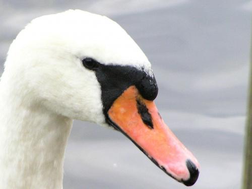 łabedzie, kaczki, ptaki, zwierzaki,zwierzęta, ptactwo wodne, woda, przyroda